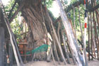 Photo of Bodhi Tree: Click for larger image